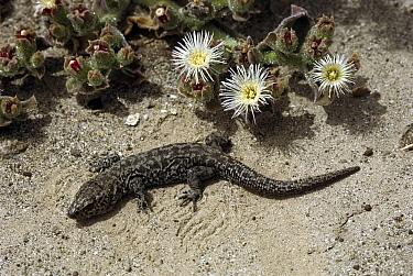 Island Night Lizard (Xantusia riversiana), native to San Nicolas, Santa Barbara and San Clemente Islands of Channel Islands National Park, California  -  ZSSD
