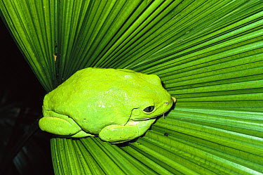 Mexican Giant Tree Frog (Pachymedusa dacnicolor) camouflaged on leaf, native to Mexico  -  ZSSD