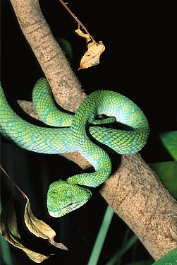 Temple Pit Viper (Trimeresurus wagleri) in tree, extremely venomous species native to Indonesia  -  ZSSD