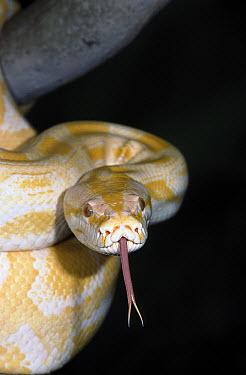Burmese Python (Python molurus bivittatus) sensing with tongue, native to China and Indonesia  -  ZSSD
