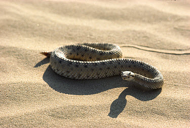 Colorado Desert Sidewinder (Crotalus cerastes laterorepens) on sand, venomous species native to deserts of California and Mexico  -  ZSSD