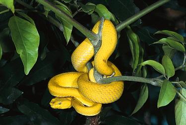 McGregor's Pit Viper (Trimeresurus mcgregori) coiled in tree, venomous species, native to the Philippines  -  ZSSD