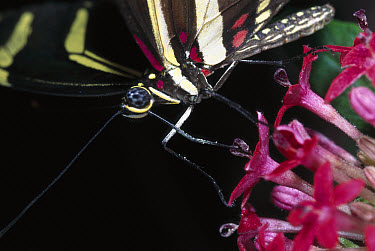 Zebra Butterfly (Heliconius charitonius) using probiscus to feed at flower, California  -  ZSSD