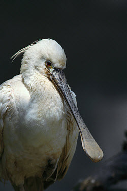 Eurasian Spoonbill (Platalea leucorodia) portrait, breeds in Europe, winters in China and northern Africa  -  ZSSD