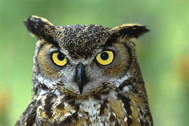 Great Horned Owl (Bubo virginianus) portrait, native to North America  -  ZSSD