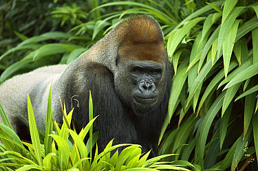 Western Lowland Gorilla (Gorilla gorilla gorilla) male portrait, native to Africa  -  ZSSD