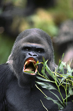 Western Lowland Gorilla (Gorilla gorilla gorilla) male vocalizing, native to equatorial West Africa  -  ZSSD