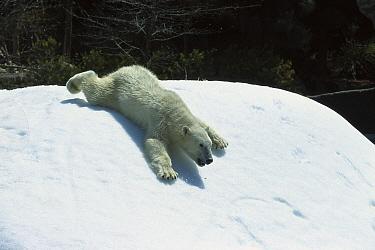 Polar Bear (Ursus maritimus) sliding down snow bank, native to Canada  -  ZSSD