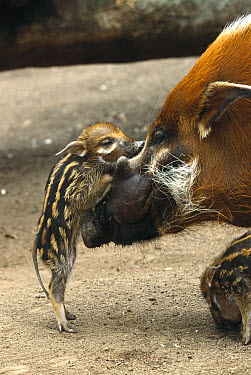 Red River Hog (Potamochoerus porcus) baby and mother interacting, a highly social bush pig native to West Africa  -  ZSSD