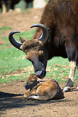 Indian Gaur (Bos frontalis) mother and baby, native to southern Asia  -  ZSSD
