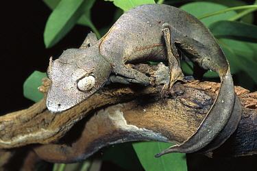 Fantastic Leaf-tail Gecko (Uroplatus phantasticus) portrait, native to northern Madagascar  -  ZSSD