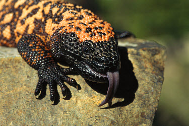 Gila Monster (Heloderma suspectum) sensing with tongue, venomous species native to southwest United States and northern Mexico  -  ZSSD