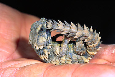 Armadillo Lizard (Cordylus cataphractus) curled up in typical defensive posture, native to Namibia and South Africa  -  ZSSD