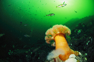 Tube-dwelling Anemone (Cerianthus sp) in underwater scene, Clayoquot Sound, Vancouver Island, British Columbia, Canada  -  Flip  Nicklin