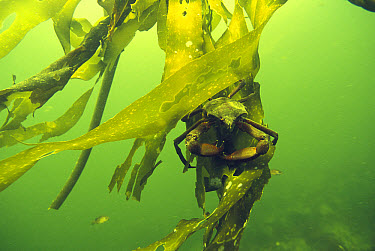 Kelp Crab (Pugettia producta) on Kelp (Macrocystis pyrifera) underwater, Clayoquot Sound, Vancouver Island, British Columbia, Canada  -  Flip  Nicklin