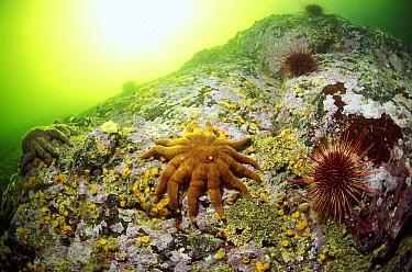 Sea Star (Solaster sp) and Sea Urchins, Clayoquot Sound, Vancouver Island, British Columbia, Canada  -  Flip  Nicklin