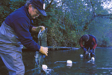 Salmon (Oncorhynchus sp) being netted to collect eggs and sperm for Tofino hatchery which raises and releases farmed fry to enhance wild populations, Vancouver Island, British Columbia, Canada  -  Flip  Nicklin