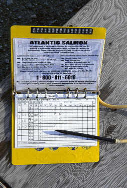 Salmon (Oncorhynchus sp) counted by researchers to determine effects of escaped farmed Atlantic Salmon on wild Pacific populations, Clayoquot Sound, Vancouver Island, British Columbia, Canada  -  Flip  Nicklin
