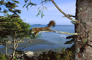 Red Squirrel (Tamiasciurus hudsonicus) leaping from tree, native Red Squirrels are being displaced by the introduced Eastern Gray Squirrel (Sciurus carolinensis), Clayoquot Sound, Vancouver Island, Br...  -  Flip  Nicklin