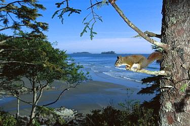 Red Squirrel (Tamiasciurus hudsonicus) in tree, native Red Squirrels are being displaced by the introduced Eastern Grey Squirrel (Sciurus carolinensis), Clayoquot Sound, Vancouver Island, British Colu...  -  Flip  Nicklin