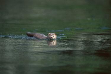 American Mink (Neovison vison) swimming, Clayoquot Sound, Vancouver Island, British Columbia, Canada  -  Flip  Nicklin
