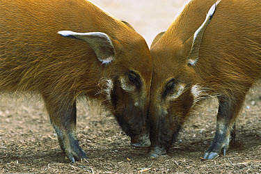 Red River Hog (Potamochoerus porcus) pair standing face to face, a highly social bush pig, native to Africa  -  ZSSD