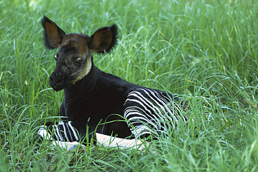 Okapi (Okapia johnstoni) calf resting in grass, native to tropical forests of northern Democratic Republic of the Congo  -  ZSSD