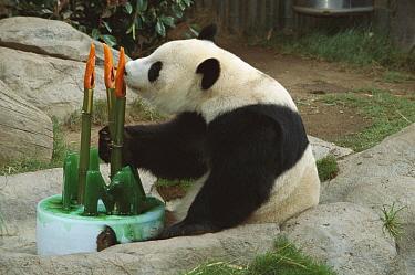 Giant Panda (Ailuropoda melanoleuca) baby Panda Hua Mei celebrating her third birthday with a cake, native to Asia  -  ZSSD