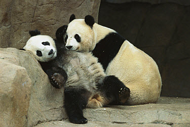 Giant Panda (Ailuropoda melanoleuca) mother Bai Yun cuddling with her two year old cub Hua Mei on their last day together before being separated to complete the weaning process, native to Asia  -  ZSSD