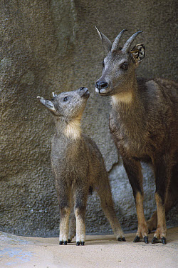 Goral (Naemorhedus goral) parent and foal, native to high mountain ranges of China, Korea, Manchuria and Russia  -  ZSSD