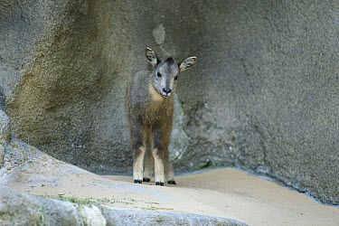 Goral (Naemorhedus goral) foal portrait, native to high mountain ranges of China, Korea, Manchuria and Russia  -  ZSSD