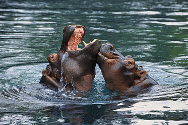 East African River Hippopotamus (Hippopotamus amphibius kiboko) mother and baby playing in water, native to Africa  -  ZSSD