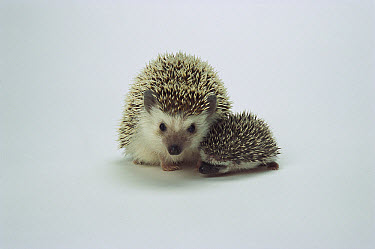 African Hedgehog (Atelerix algirus) mother and baby, native to Africa  -  ZSSD