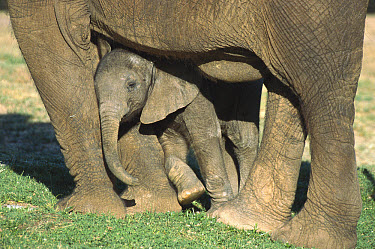 African Elephant (Loxodonta africana) calf leaning on its mothers legs, native to Africa  -  ZSSD