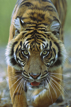 Sumatran Tiger (Panthera tigris sumatrae) close-up portrait of female, endemic to Sumatra, Indonesia  -  ZSSD