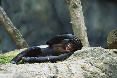 Chimpanzee (Pan troglodytes) calling while reclining, native to Africa  -  ZSSD
