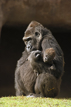 Western Lowland Gorilla (Gorilla gorilla gorilla) mother holding her baby, native to Africa  -  ZSSD