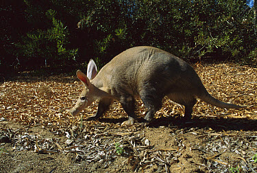 Aardvark (Orycteropus afer albicaudus), San Diego Zoo, California  -  ZSSD