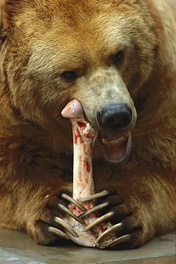 Brown Bear (Ursus arctos) gnawing on bone, San Diego Zoo, California  -  ZSSD