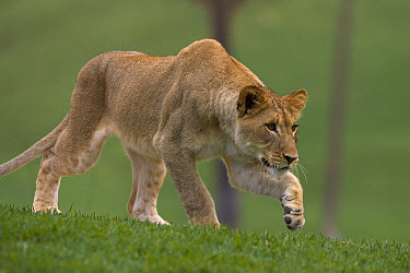 African Lion (Panthera leo) young African Lion stalking, native to Africa  -  ZSSD