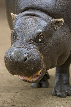 Pygmy Hippopotamus (Hexaprotodon liberiensis) portrait, native to West Africa  -  ZSSD