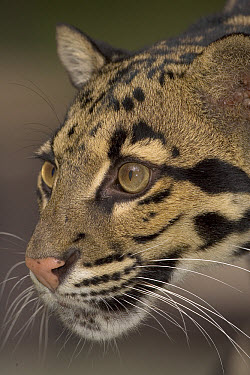 Clouded Leopard (Neofelis nebulosa) close-up portrait, native to southeast Asia  -  ZSSD