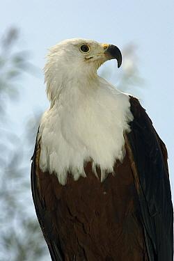 African Fish Eagle (Haliaeetus vocifer) portrait, native to Africa  -  ZSSD