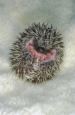 African Hedgehog (Atelerix algirus) baby curled up in defensive posture, native to Africa  -  ZSSD