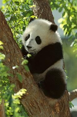 Giant Panda (Ailuropoda melanoleuca) named Mei Sheng on exhibit, native to Asia  -  ZSSD