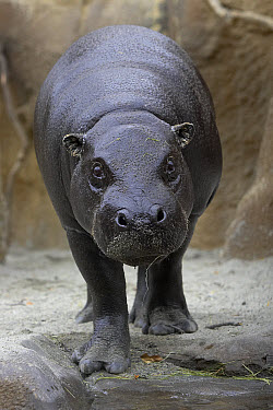 Pygmy Hippopotamus (Hexaprotodon liberiensis) portrait, endangered, native to West Africa  -  ZSSD