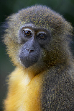 Golden-bellied Mangabey (Cercocebus chrysogaster) portrait, native to Congo  -  ZSSD