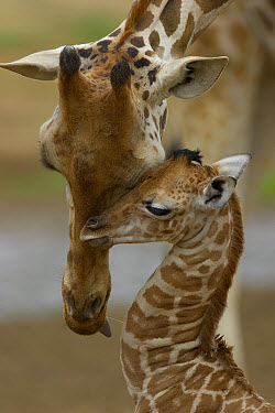 Rothschild Giraffe (Giraffa camelopardalis rothschildi) mother nuzzling calf, native to Africa  -  ZSSD