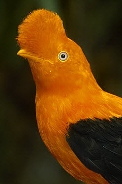 Andean Cock-of-the-rock (Rupicola peruvianus) portrait, native to Andean cloud forests  -  ZSSD