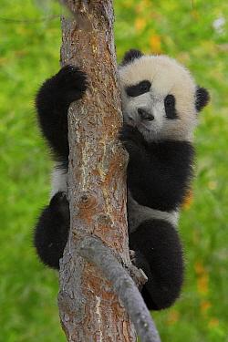 Giant Panda (Ailuropoda melanoleuca) cub in tree, endangered, native to China  -  ZSSD